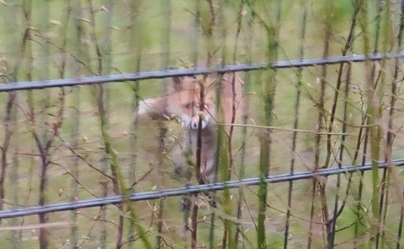 Ein Fuchs am Morgen