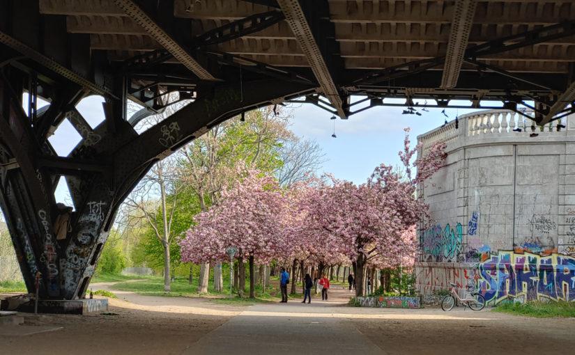 Die japanischen Kirschblüten unter der Bornholmer Brücke