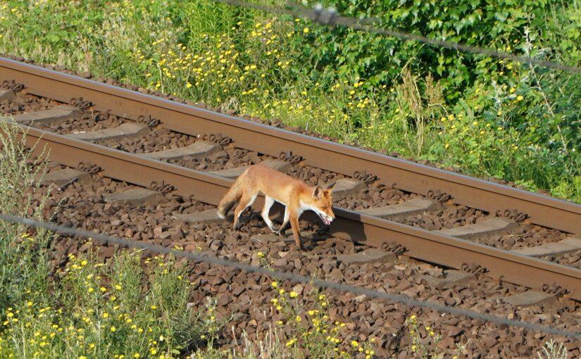 Der Fuchs an der Bahn