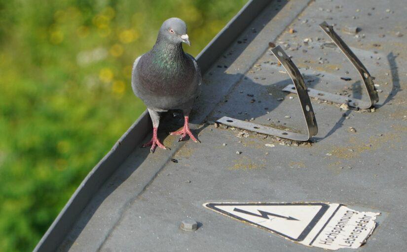 Die Taube und die Hochspannung