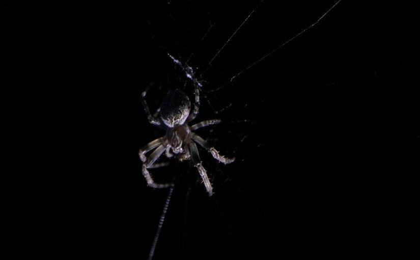 Kreuzspinne bei Nacht