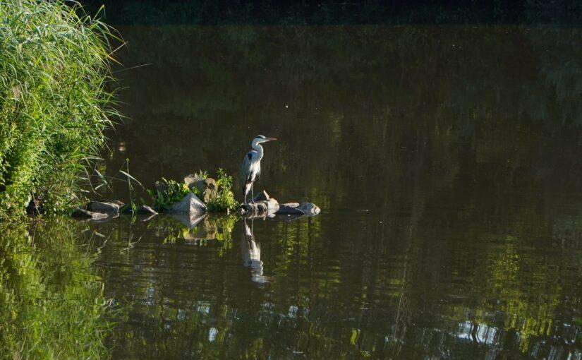 Ein Fischreiher an der Saar