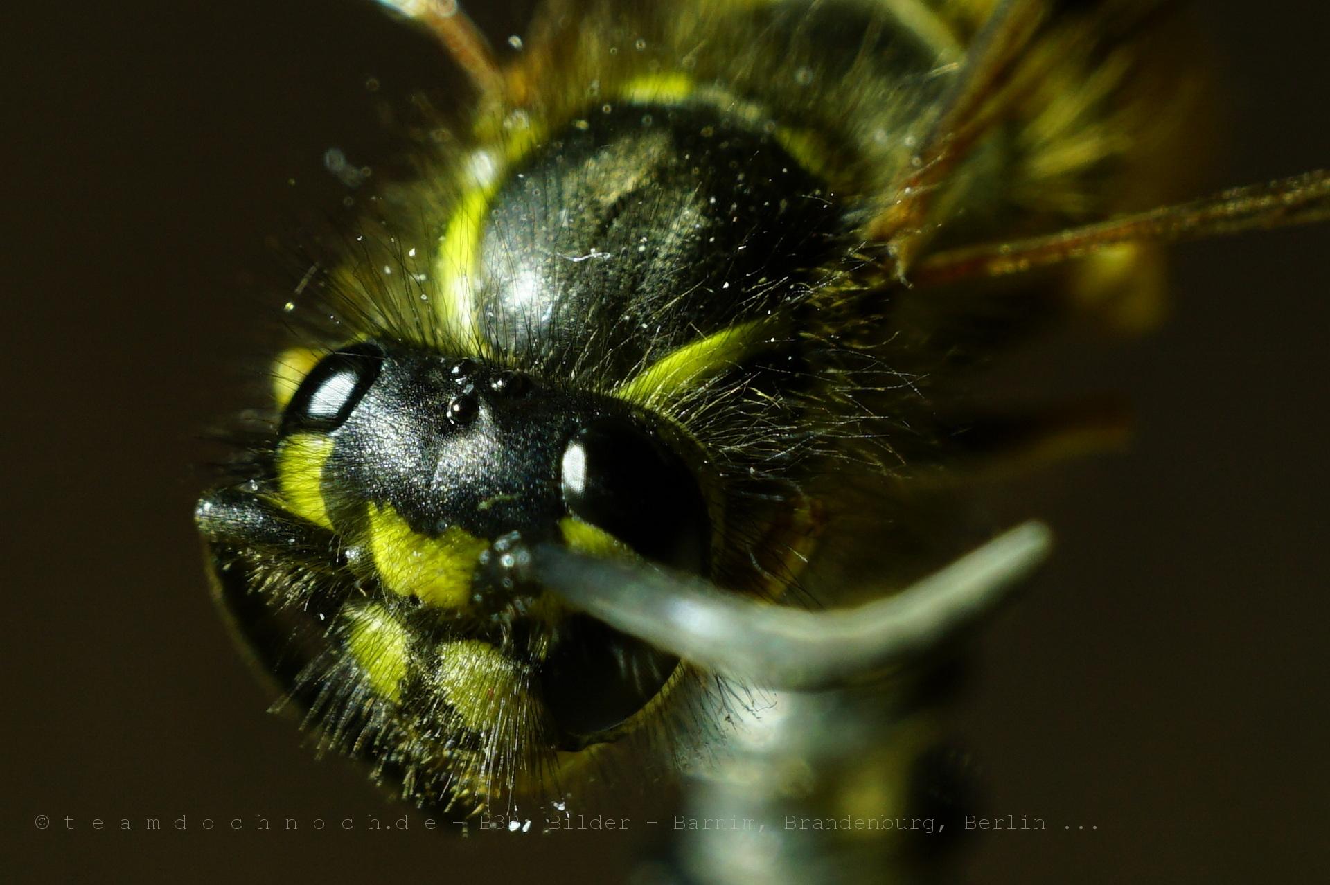Eine Wespe ganz dicht