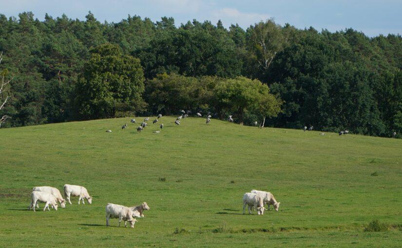 Kühe und Kraniche